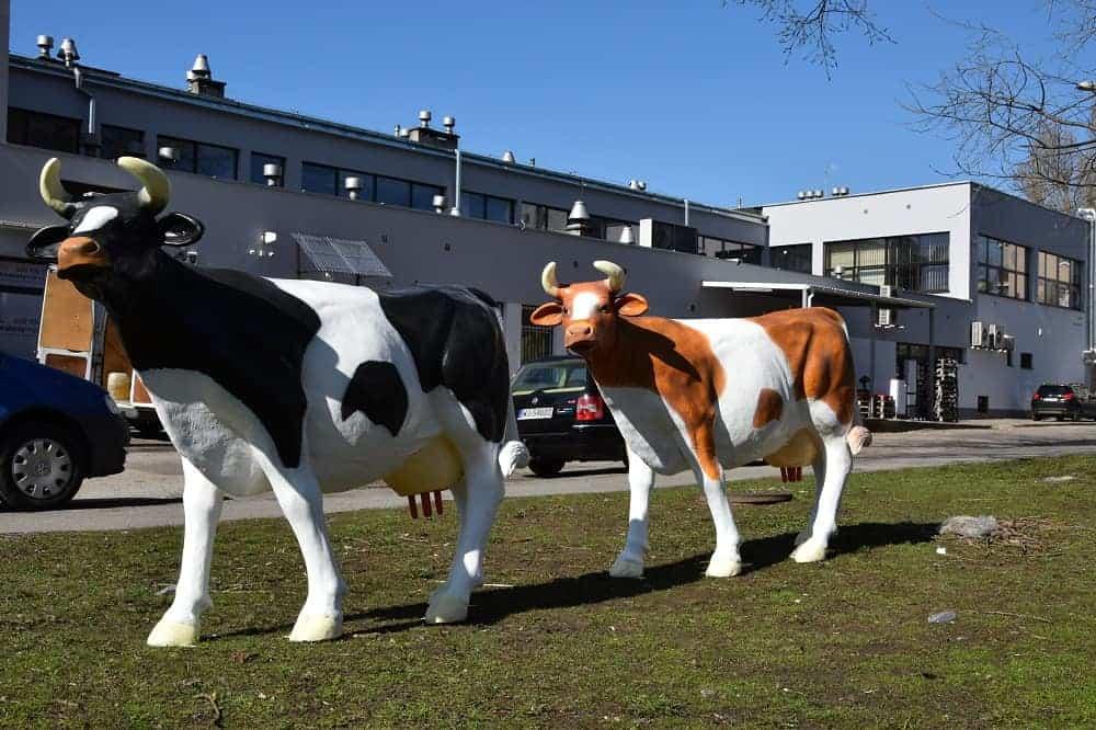 sztuczna-krowa Sztuczna krowa do dojenia